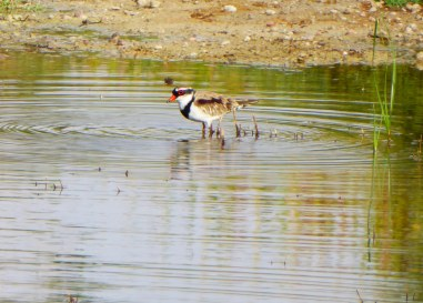 Black-fronted Dotterel, Coward Springs.