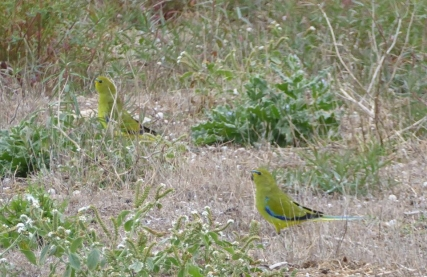 Not a shorebird, I know, but a 'lifer' for me – Blue-winged Parrot