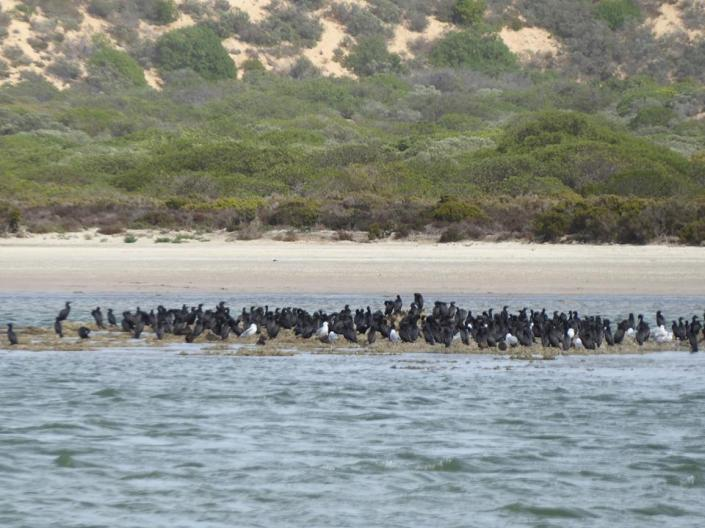 Little Black Cormorants were huddling too.