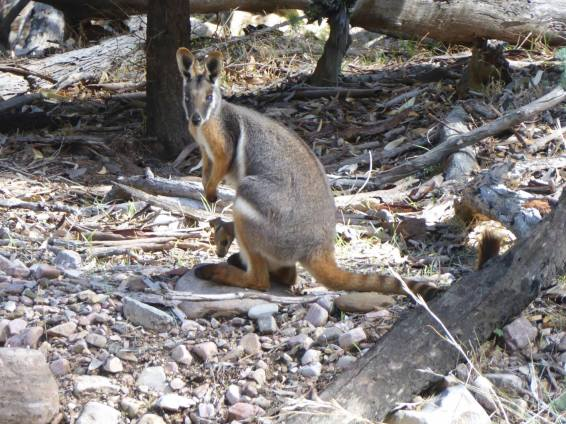 The Yellow-footed Rock Wallaby (mother) and baby: so pretty.
